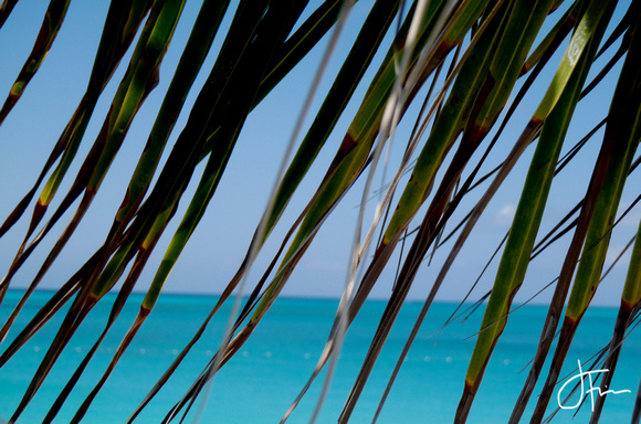 Turks Palm